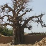 baobab en octobre